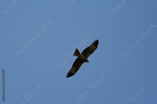 AGRA, UTTAR PRADESH / INDIA - FEBRUARY 9, 2012 : From the below point of view the red tailed hawk flying aginst the blue sky background Canvas Print