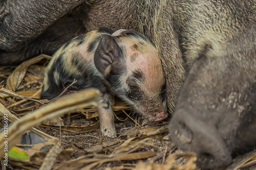 Photo newborn spotted black and white piggy accustomed to a sow