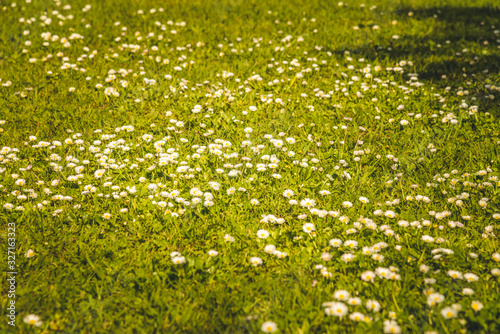 lawn with spring daisies growing in the garden Wallpaper Mural
