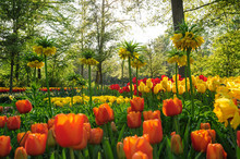 Red Tulips Of Netherlands In R...
