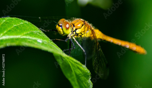 Common darter on a leaf Canvas-taulu