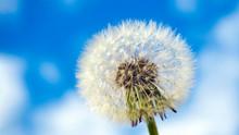 Close-up Of Dandelion Seed Hea...