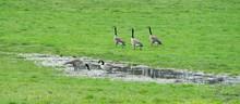 Kanadagans,Canad Goose,Wildgans,Wild Goose,