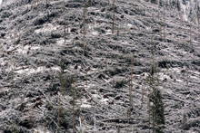 Windfall In Forest. Storm Dama...