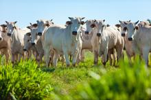 Gado Nelore No Pasto Da Fazenda, Mato Grosso Do Sul, Brasil, Pecuária Brasileira, Agronegócio