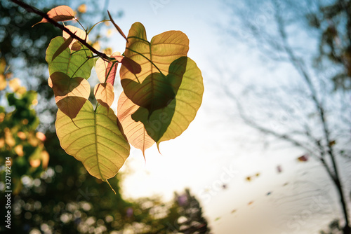 Green Bo leaf with Sunlight  in the morning, Bo tree  representing Buddhism in thailand Canvas Print