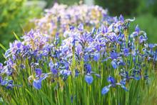 Beautiful Blue Siberian Iris B...