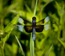 A Male Widow Skimmer Dragonfly Rests On A Blade Of Grass In The Summer Sun.