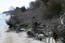 Trees Uprooted Due To Erosion