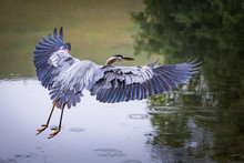 Great Blue Heron Lands In A St...