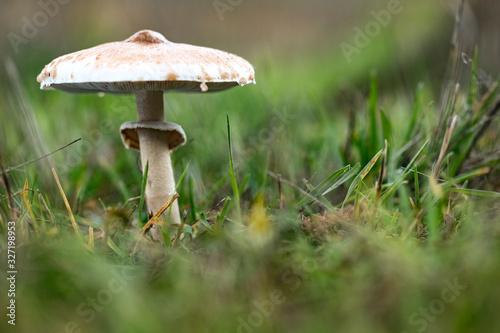 mushroom parasol on grass mushrooms, Macrolepiota mastoidea in green meadow Canvas Print
