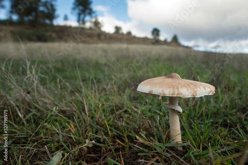 Photo mushroom parasol on grass mushrooms, Macrolepiota mastoidea in green meadow