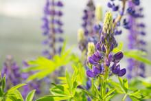 Half-opened Flower Of Purple L...