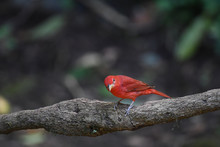 Summer Tanager Male Perched On A Branch