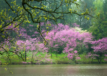 Flowering Redbud And Dogwood T...