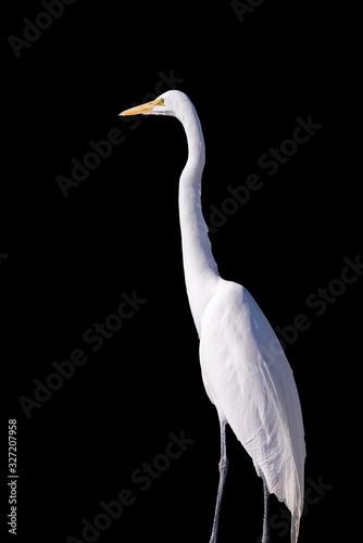 White egret on black background Wallpaper Mural