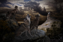 Wolves Selflessly Sing Their S...