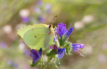 Common Brimstone Butterfly - G...