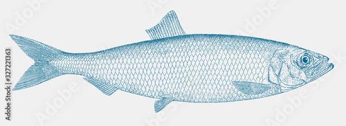 Atlantic herring, clupea harengus, an important marine food fish in side view Fototapeta