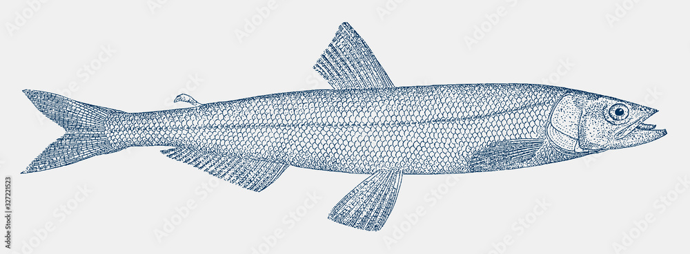 Fototapeta Eulachon, thaleichthys pacificus, a fish from the Pacific coast of North America in side view