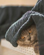 Beautiful Scottish Fold Kitten...