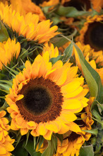 Vividly Bright Yellow Single Sunflower Dominant In Photo Of Sunflowers