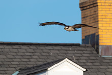 An Osprey In Flight Over A Bea...