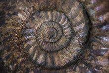 Fossilized Extinct Ammonite At...