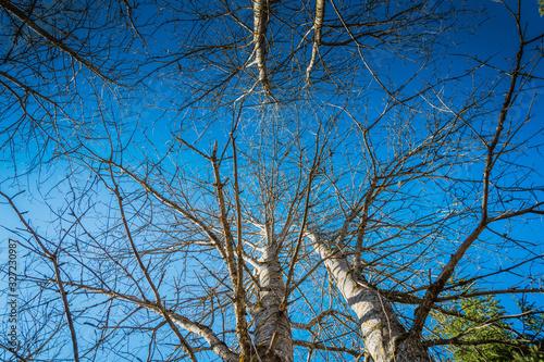 Widok na korony drzew brzozy - 327230987