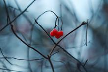 Red Viburnum Berry In Winter. ...