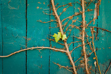 Two Leaves On Dry Vine On Fence