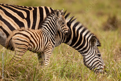 Baby zebra and mother - 327256943