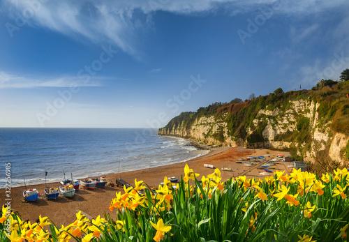 Fototapeta Daffodils at Beer beach in Devon in spring sunshine obraz