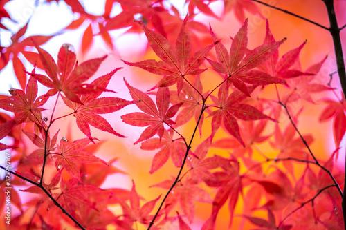 紅葉 秋の和風イメージ - 327259167