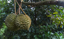 Durian On Durian Tree In The G...