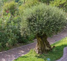Olive Tree (Olea Europaea). So...