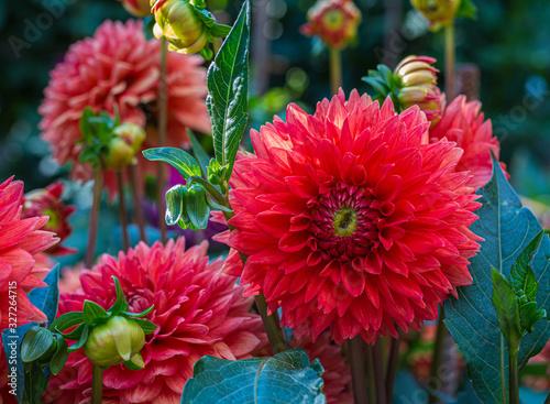 Beautiful red dahlia flower in the garden, dahlias in the garden in summer or au Wallpaper Mural