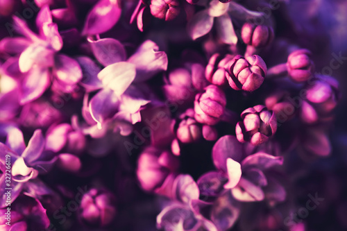 Purple lilac flowers blossom in garden background