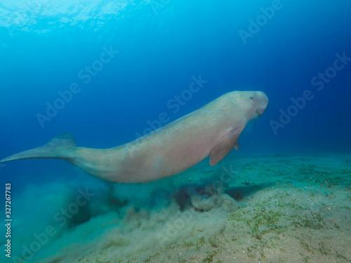 Fototapeta Dugong (sea cow) swimming underwater