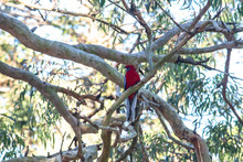 Australian Crimson Rosella Parrot Native Bird Perched In Branch Of Eucalyptus Gum Tree