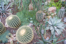 "Big ""Golden Barrel Cactus"" Or Golden Ball, Mother In Laws Cushion In Innsbruck, Austria. Its Scientific Name Is Echinocactus Grusonii. The Cactus Garden Is Arranged With Echinocactus Grusonii"