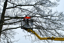 Gardener Cutting A Tree In Winter, Removing Dead Branches