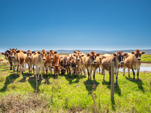 Group Of Cute South African Cows Grazing In A Row