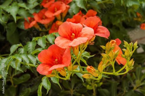 Fotografia Campsis grandiflora