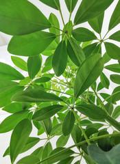 Naklejka Liście Under umbrella plant