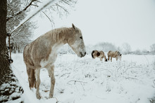 White Mare In The Foreground W...