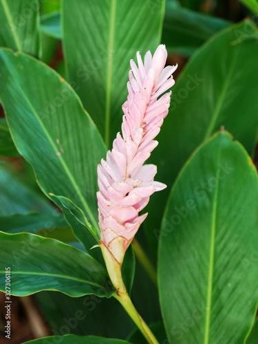 Photo Alpinia rose au jardin botanique de Deshaies en Guadeloupe