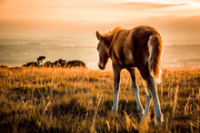 Isolated Foal On Dartmoor Nati...