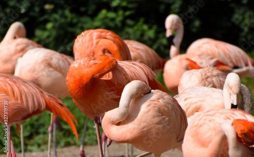 Chilean Flamingos grooming Canvas Print