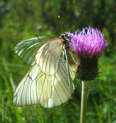 White butterflies and thistle flower Canvas Print